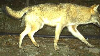 Wolf tappt in Urner Fotofalle
