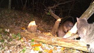 Castur a Trun, la surveglianza da chatscha ha fotografà l'animal