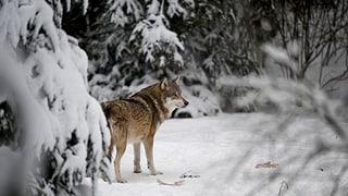 Graubünden und St. Gallen wollen zwei Wölfe abschiessen