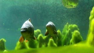 Video «Fische: Gifte im Wasser (3/6)» abspielen
