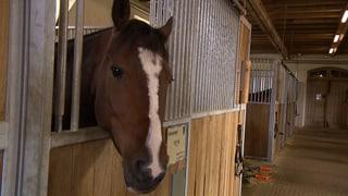 Mehrere Armee-Pferde erkrankt