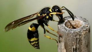 Die Überlebenstricks der Wespenkönigin