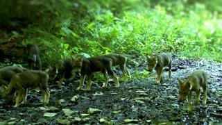 Das Wolfsrudel am Calanda hat zum sechsten Mal Nachwuchs.