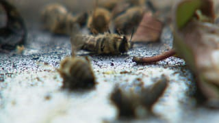 Bienensterben wegen erlaubter Insektizide?
