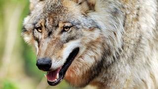 Jäger verwechselt Wolf mit Fuchs