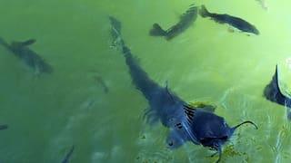 Die Globalisierung und der Catfish in Mississippi