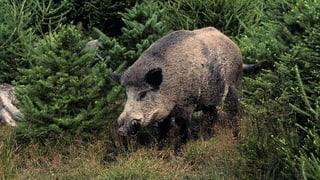 Wieder Wildschweine in Luzerner Wäldern
