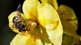 Der Aargau rüstet sich gegen das Bienensterben