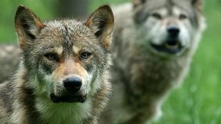 Zweites Wolfsrudel in der Schweiz
