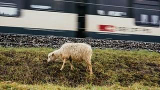SBB setzen in Liestal auf Schafe