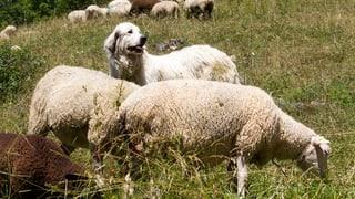 Auf Freiburger Alpen nützen die Herdenschutzhunde