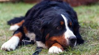 «Muss der Vermieter einen Nachmieter mit Hund akzeptieren?» (Artikel enthält Audio)