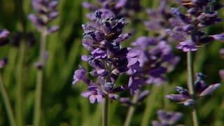 Lavendel gegen Angst