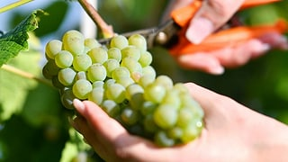 Im Baselbiet gibt es praktisch nur Weisswein mit Jahrgang 2017