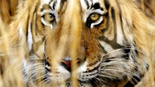178 Länder setzen sich für Nashorn, Tiger & Co. ein
