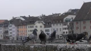 Tauben besetzen Solothurner Plätze