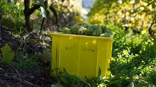Spritzmittel zerstört Wettinger Weintrauben