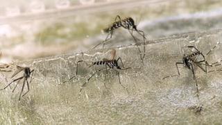 Tigermücke auf dem Vormarsch