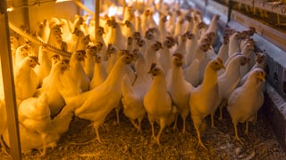Vogelgrippe: Bund verschärft Schutzmassnahmen