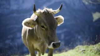 Kühe würden Hörner tragen