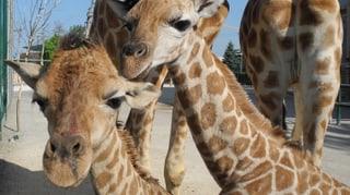 Zwei Giraffen in Knies Kinderzoo geboren