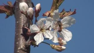 Video «Wildbienen: Die besten Bestäuberinnen» abspielen