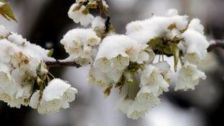Schnee spielt Kirschbäumen böse mit