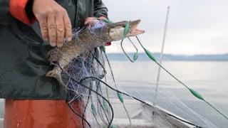 Den Berufsfischern schwimmen die Fische davon