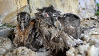 Drei junge Bartgeier auf Melchsee Frutt ausgewildert