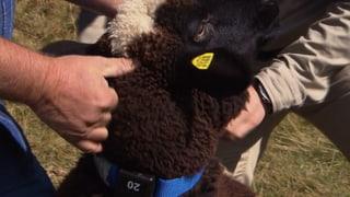 Herdenschutz 2.0: Schafe elektronisch schützen