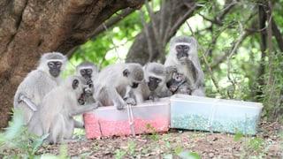 Blau oder pink? Affen essen wie ihre Artgenossen
