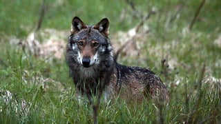 Wallis gibt weiteren Wolf zum Abschuss frei