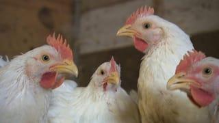 Ausgesetzte Thurgauer Hühner geschlachtet