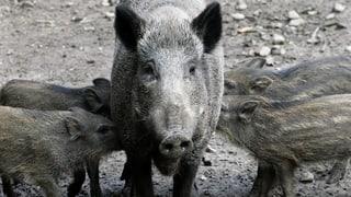 Wildsau-Streit: Immer mehr Abschüsse, immer mehr Schäden