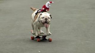 Bulldogge auf Skateboard knackt Weltrekord
