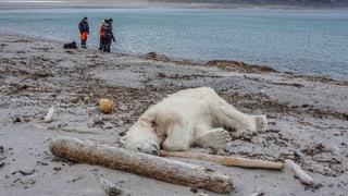 Gewaltsamer Tod eines Eisbären löst Debatte aus