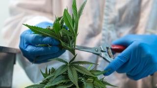 Von der Hightech-Hanfplantage in den Medizinschrank