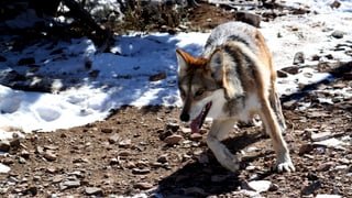 Luf en la Leventina tegn alert allevaturs d'animals