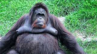 Datingportal Zoo – die letzte Hoffnung für Orang-Utans?