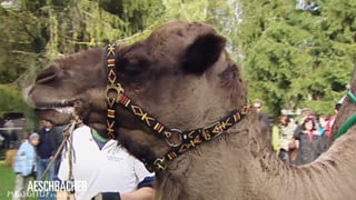 «Aeschbacher»: Ein heisser Flirt mit Kamelen