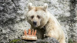 Eine Torte für die älteste Braunbärin ihrer Art