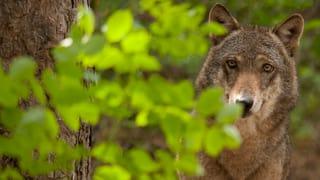 Wölfe verstecken sich vor Walliser Wildhütern