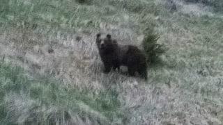 Bär im Puschlav ist wohl nicht M25