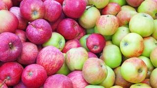 Alant – alte Apfelsorte trotzt Feuerbrand