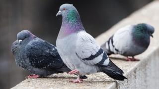 Taubenpest in Chur ausgebrochen