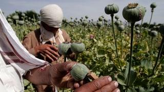Opiumproduktion in Afghanistan stark angestiegen