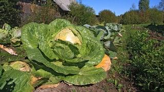 Wie stark ist das Gemüse am Strassenrand belastet?