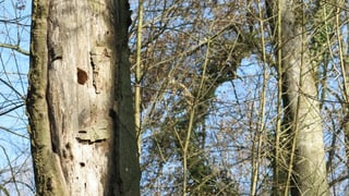 Umstürzende Bäume im Hardwald