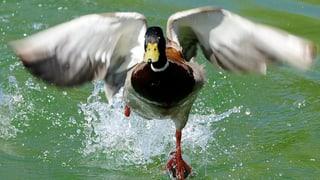 Vogelgrippe in der Nachbarschaft: Wie reagiert der Aargau?