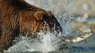 «Es ist immer der Bär, der sich annähert»